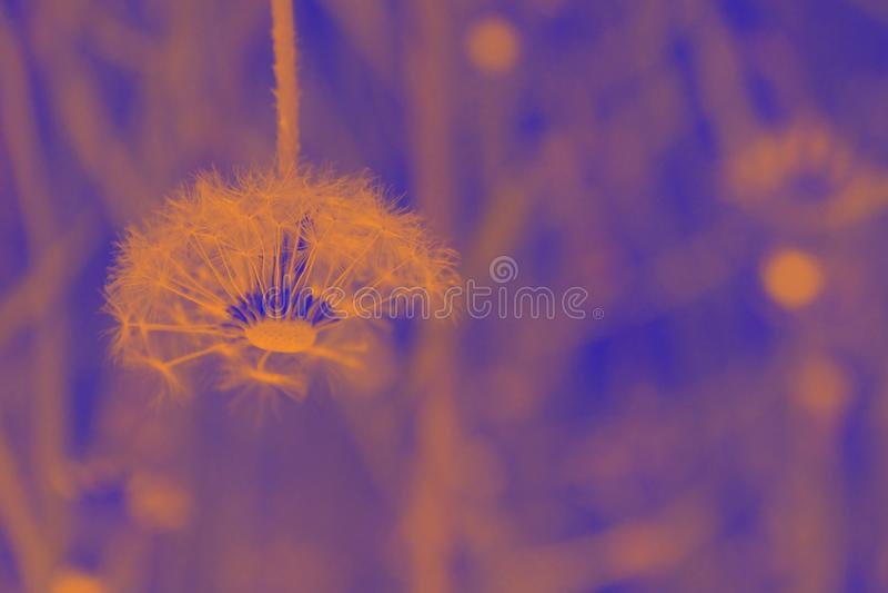 La lámpara del diente de león es los colores anaranjados y púrpuras del sol fotos de archivo libres de regalías