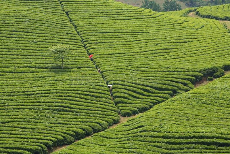 La línea de la colina del té foto de archivo libre de regalías