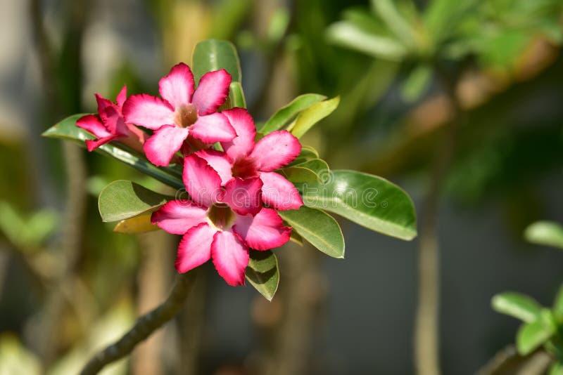 La L dentella il fiore del fiore sul suo albero nella primavera fotografia stock libera da diritti