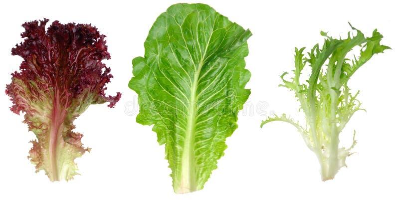 La laitue de lame, le romaine et la chicorée frisée e/scarole rouges poussent des feuilles images libres de droits