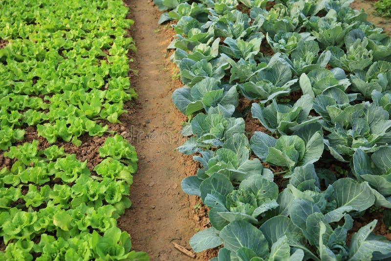 La laitue et le chou cultive dans la croissance au potager photographie stock