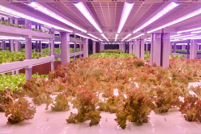 La laitue romaine se développent avec la lumière menée de croissance de plantes en serre chaude agricole verticale photos libres de droits