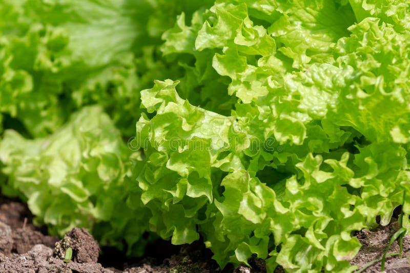 La laitue verte se d?veloppe dans le jardin Plan rapproch? Concept sain frais de nourriture photo stock