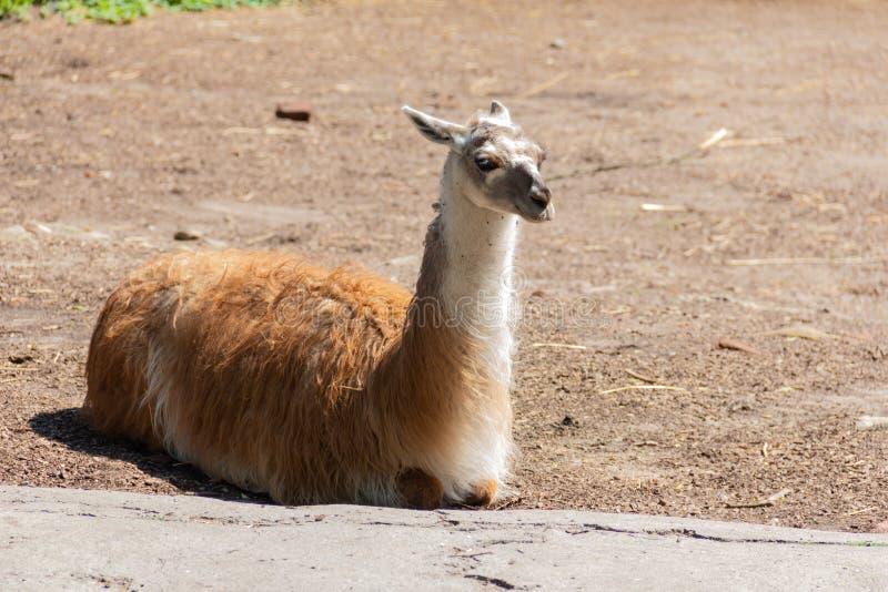 La lama si trova sul prato inglese e gode del sole caldo fotografia stock libera da diritti