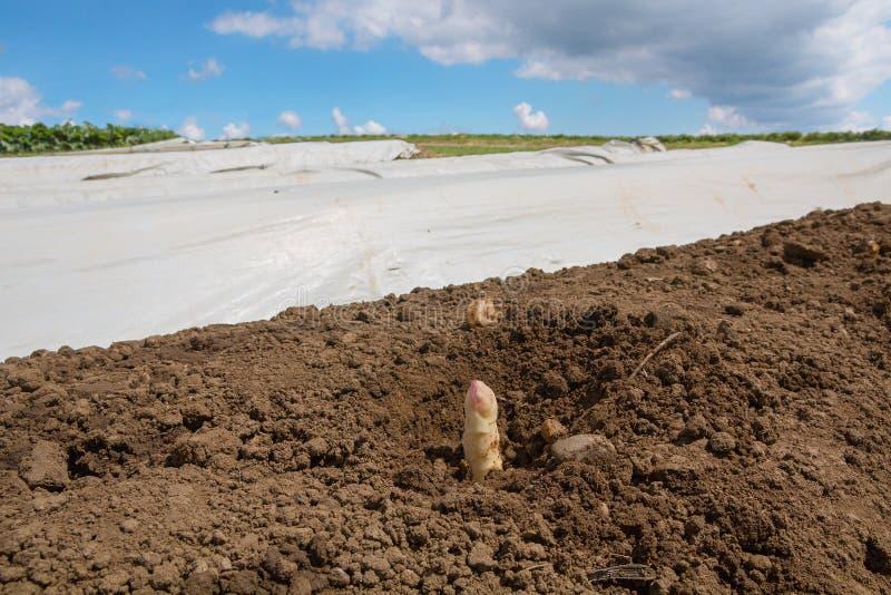 La lancia bianca al campo, file dell'asparago con plastik riveste fotografie stock libere da diritti