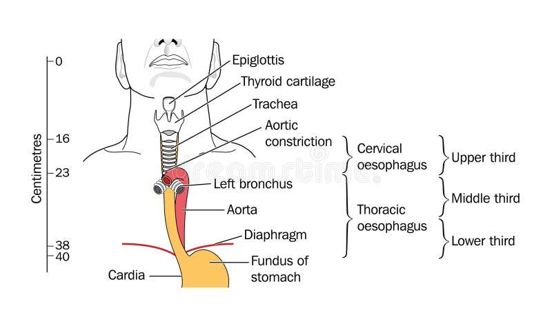 La laringe y la tráquea ilustración del vector. Ilustración de ...