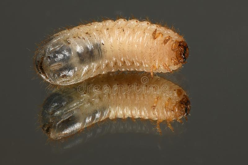La larva de a puede escarabajo imagenes de archivo