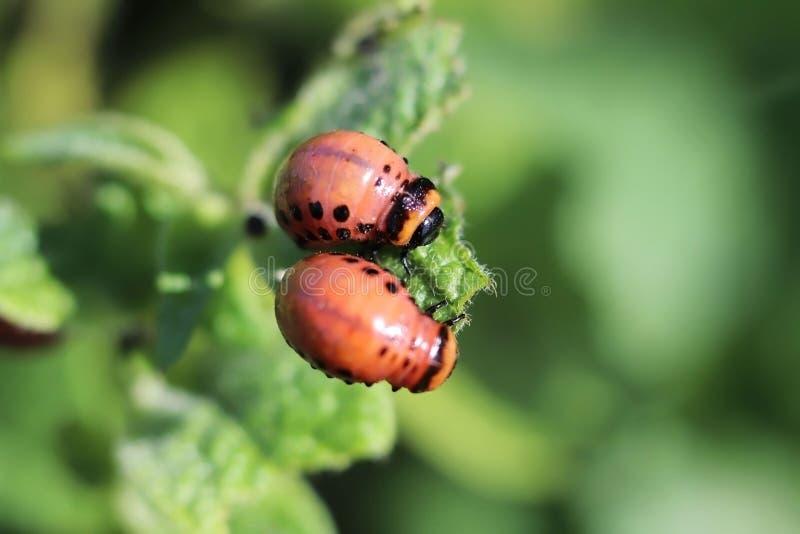 La larva del escarabajo de la patata come las hojas verdes de patatas Tiro macro del parásito en los arbustos del nightshade Inse foto de archivo