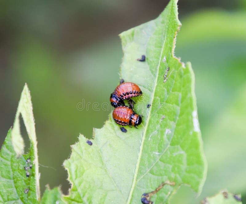 La larva del escarabajo de la patata come una hoja de una patata foto de archivo