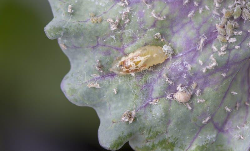 La larva del escarlata vuela come áfidos en la col Enemigo natural de áfidos, destrucción útil del insecto del jardín foto de archivo
