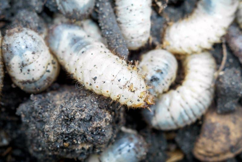 La larva del puede primer del escarabajo fotografía de archivo libre de regalías