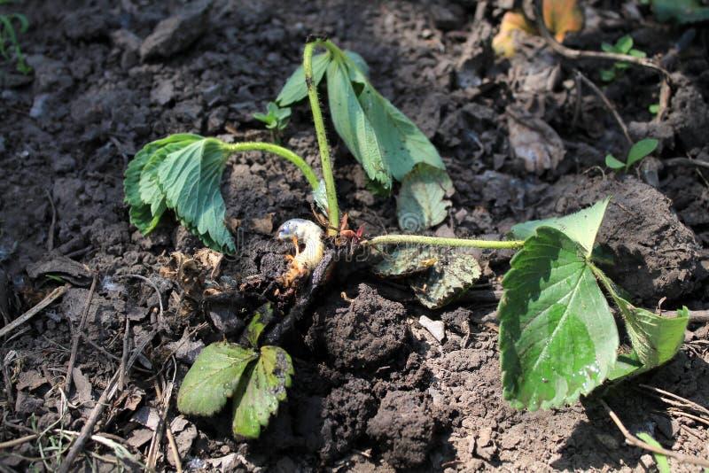 La larva dello scarabeo del rizotrogo ha mangiato il cespuglio di fragola fotografia stock libera da diritti