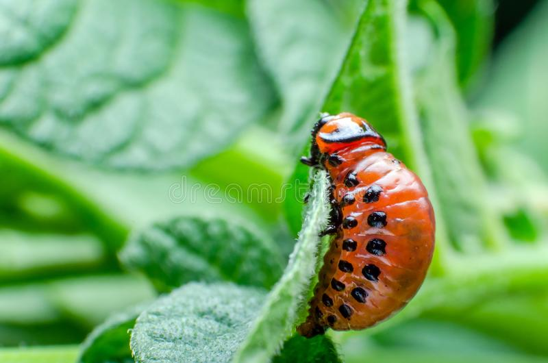 La larva roja del escarabajo de patata de Colorado come las hojas de la patata fotos de archivo