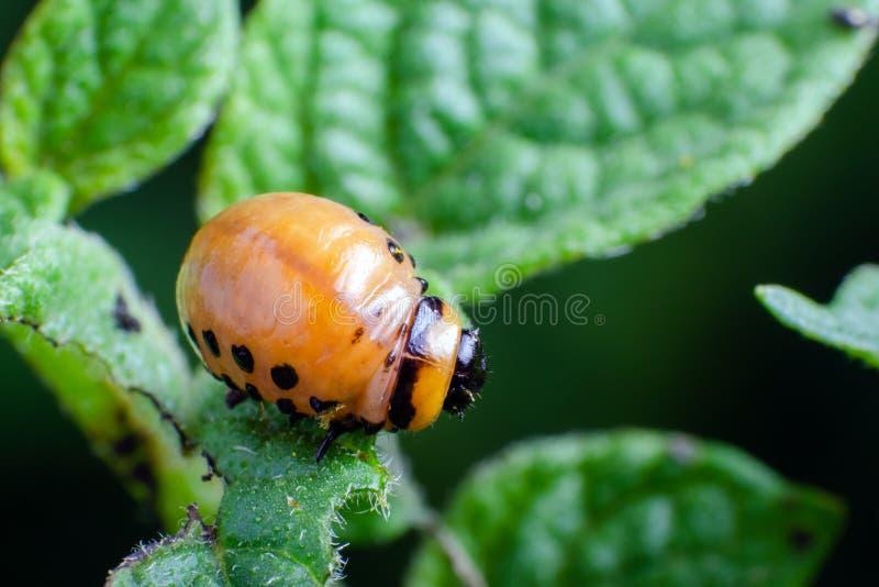 La larva roja del escarabajo de patata de Colorado come las hojas de la patata imagen de archivo