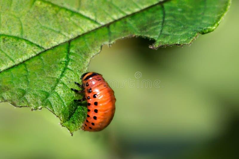 La larva roja del escarabajo de patata de Colorado come las hojas de la patata Espacio para el texto imágenes de archivo libres de regalías
