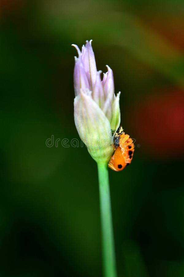 La larve d'une coccinelle sur ciboulette fleurissent image stock