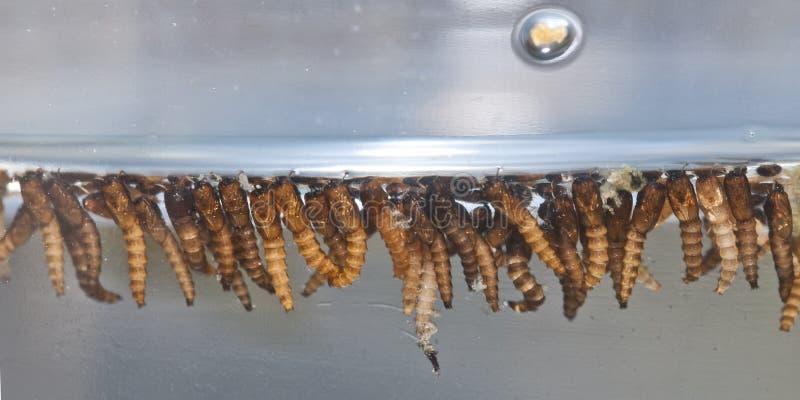 La larve du moustique photographie stock libre de droits