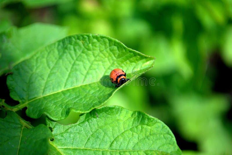 La larve du scarabée de pomme de terre du Colorado se repose sur une branche verte d'une pomme de terre image stock
