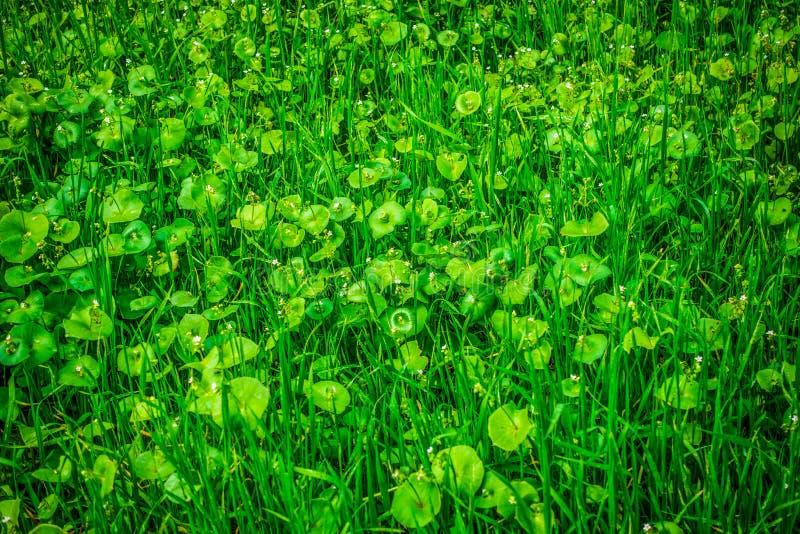 La lattuga del minatore in fioritura fotografie stock libere da diritti