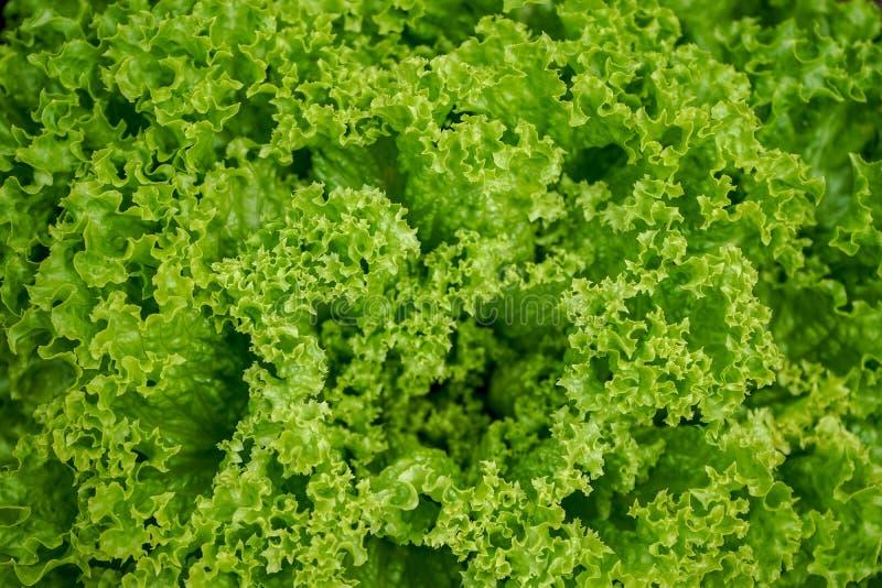 La lattuga verde fresca va per insalata, lactuca sativa immagini stock