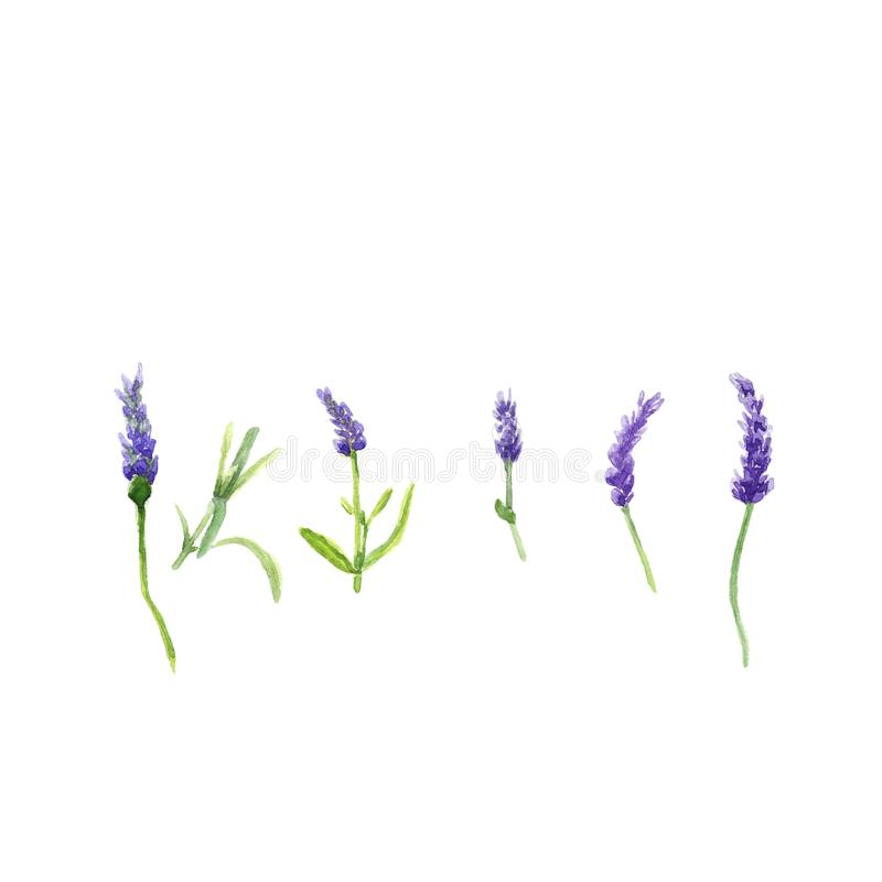 La lavanda fiorisce in uno stile dell'acquerello isolata, illustrazione botanica dell'acquerello su bianco illustrazione vettoriale