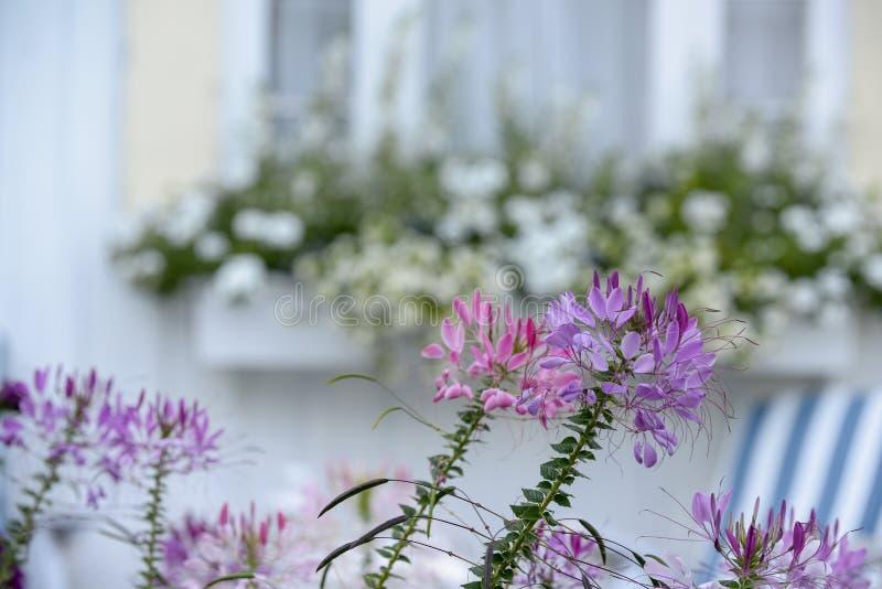 La lavanda y el Cleome púrpura florece en Nueva Inglaterra Coastal Cott fotos de archivo