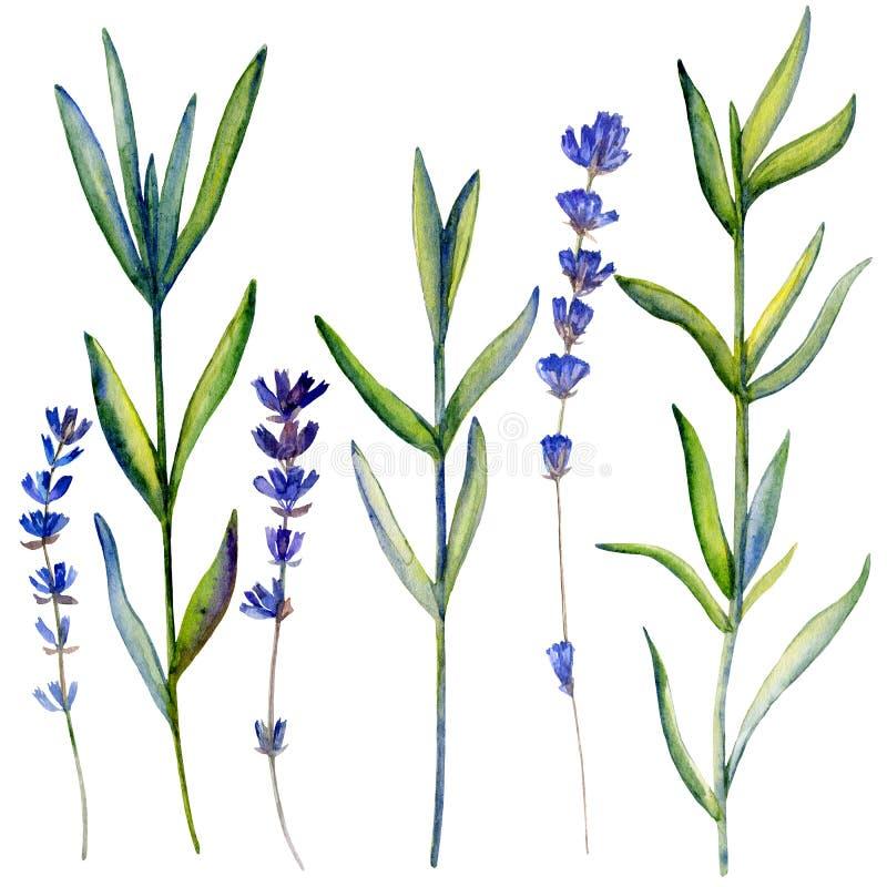 La lavande d'aquarelle fleurit, bouquet tiré par la main peignant l'illustration botanique d'isolement sur le fond blanc, ensembl illustration libre de droits