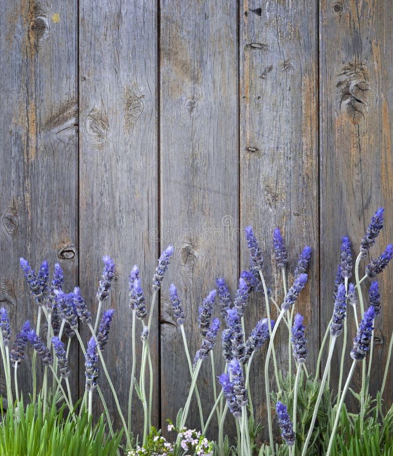 La lavande en bois fleurit le fond images stock