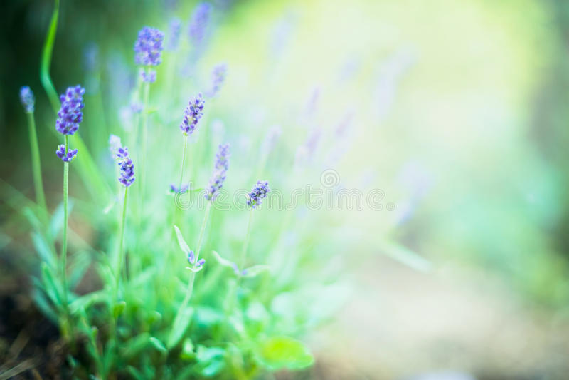 La lavande fine fleurit sur le fond brouillé de jardin ou de parc image libre de droits