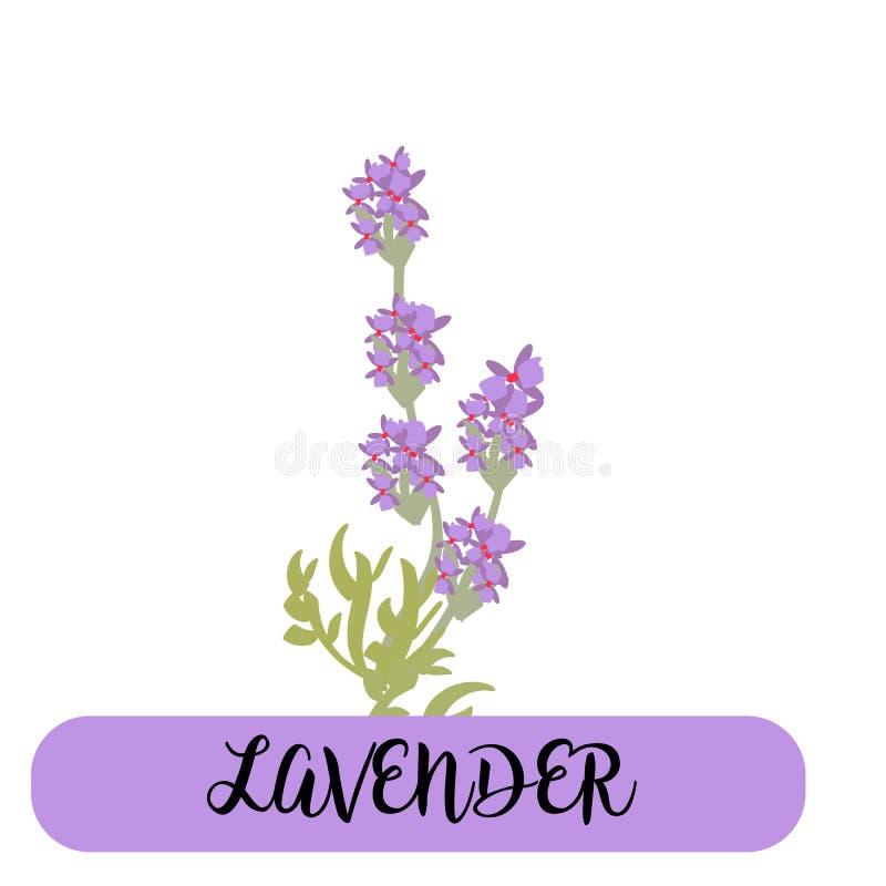 La lavande fleurit des éléments botanique La collection de lavande fleurit sur un fond blanc Paquet d'illustration de vecteur illustration de vecteur