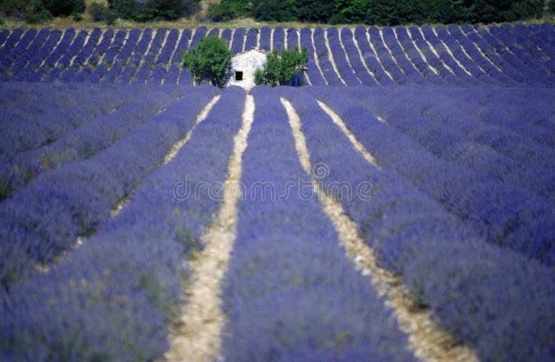 La lavande met en place la Provence France l'Europe photos libres de droits