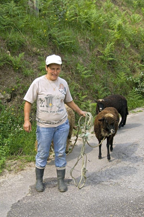 La lavoratrice agricola portoghese porta le pecore di nuovo all'azienda agricola fotografia stock
