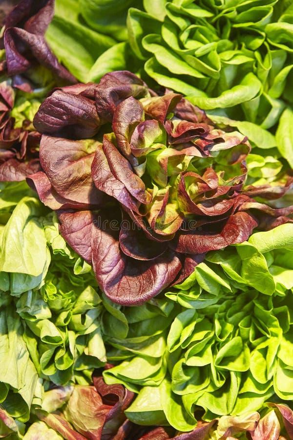 La lechuga verde y roja sale del detalle Alimento sano Agricultura fotos de archivo libres de regalías