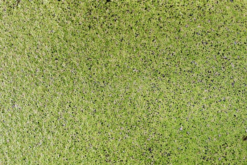 La lenticule, fond vert de lenticule de feuille, lenticule est une usine de flottement sur la surface image libre de droits