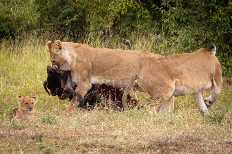 La leona arrastra el ñu más allá de otro cachorro cercano foto de archivo