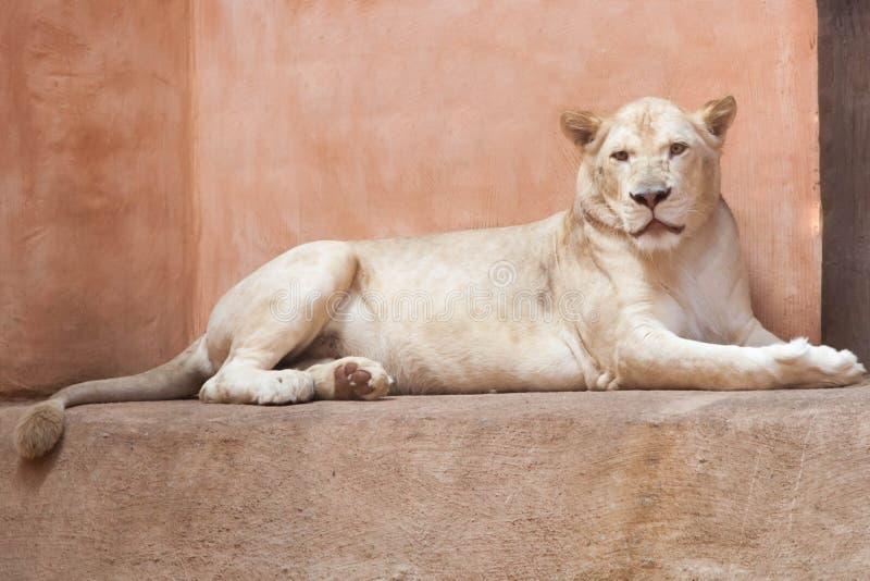 La leonessa adulta bianca del leone sta esaminandovi fotografia stock