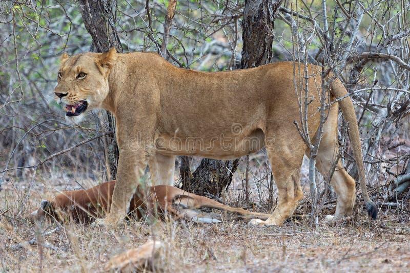 La leonessa ha ucciso appena un'impala fotografia stock