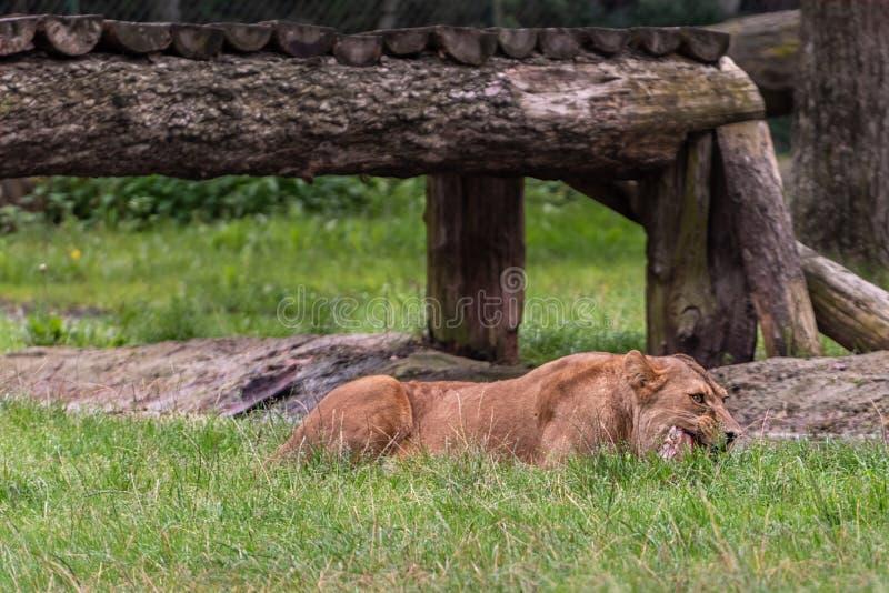 La leonessa mangia la carne Ritratto di una leonessa in un parco di safari fotografia stock libera da diritti