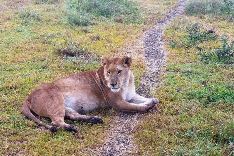 La leonessa pigra sulla terra Savanna sabbiosa di Serengeti, Tanzania fotografia stock