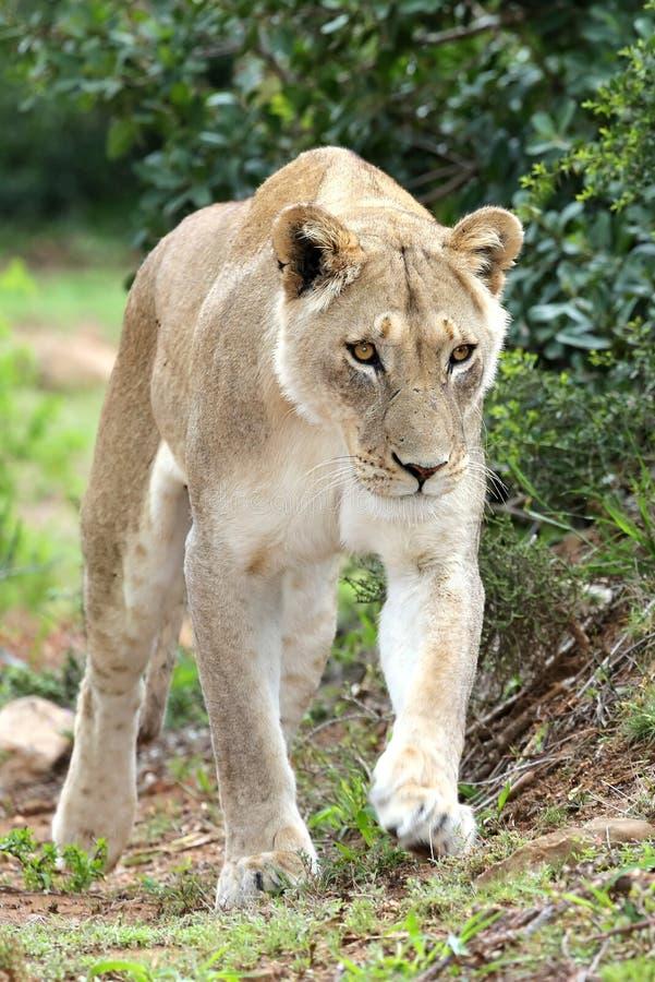 La leonessa sopra vaga in cerca di preda fotografia stock