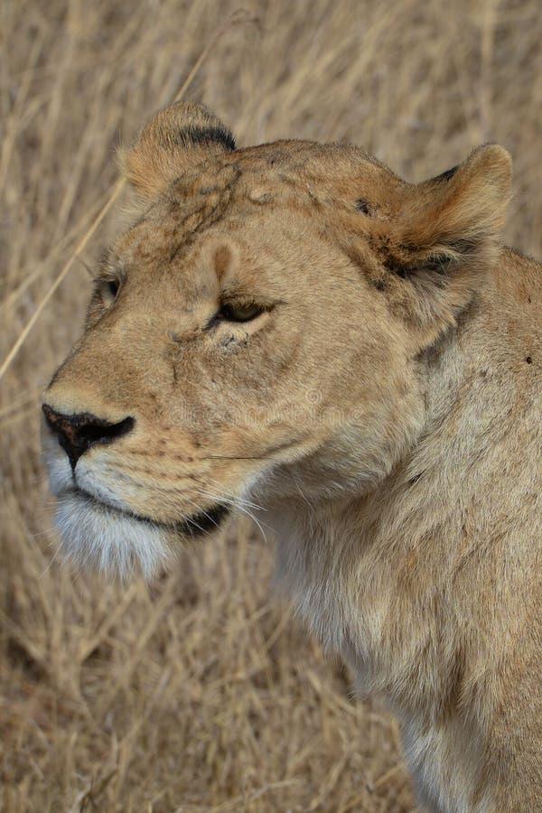 La leonessa sul vaga in cerca di preda in Tanzania fotografia stock libera da diritti
