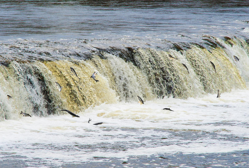 "La Lettonia, KuldÄ ""GA Peschi la nuotata (di Vimba) per deporree uova, sormontando il waterf fotografia stock libera da diritti"