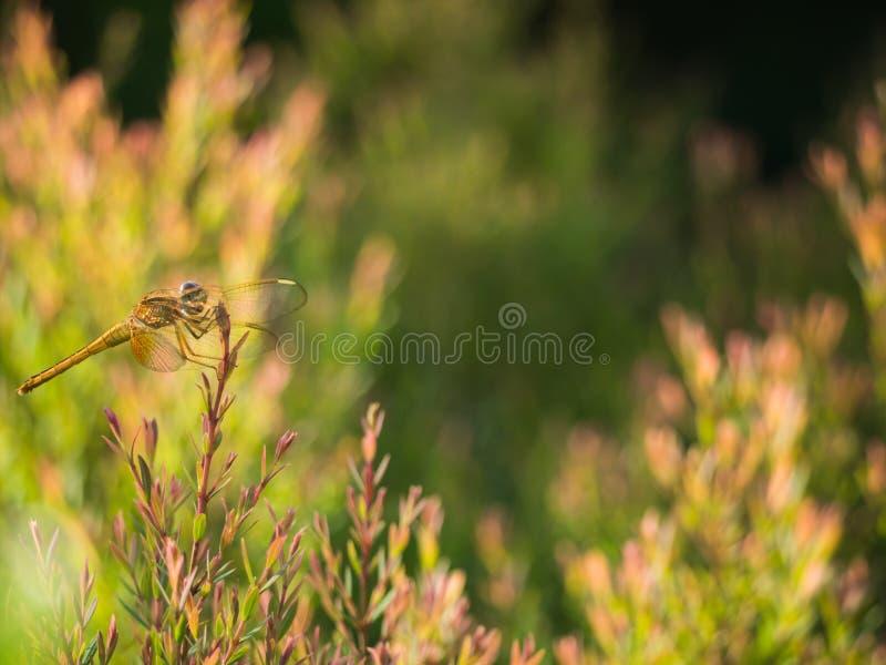 La libélula amarilla encaramada en la hoja roja imágenes de archivo libres de regalías