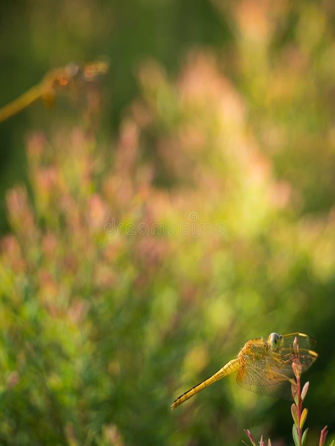 La libélula amarilla encaramada en la hoja roja imagenes de archivo