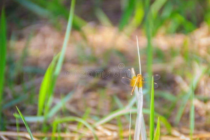 La libélula amarilla se encarama en la hoja de la hierba verde en el soleado foto de archivo libre de regalías