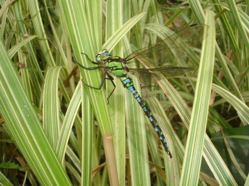 La libélula del emperador imagen de archivo