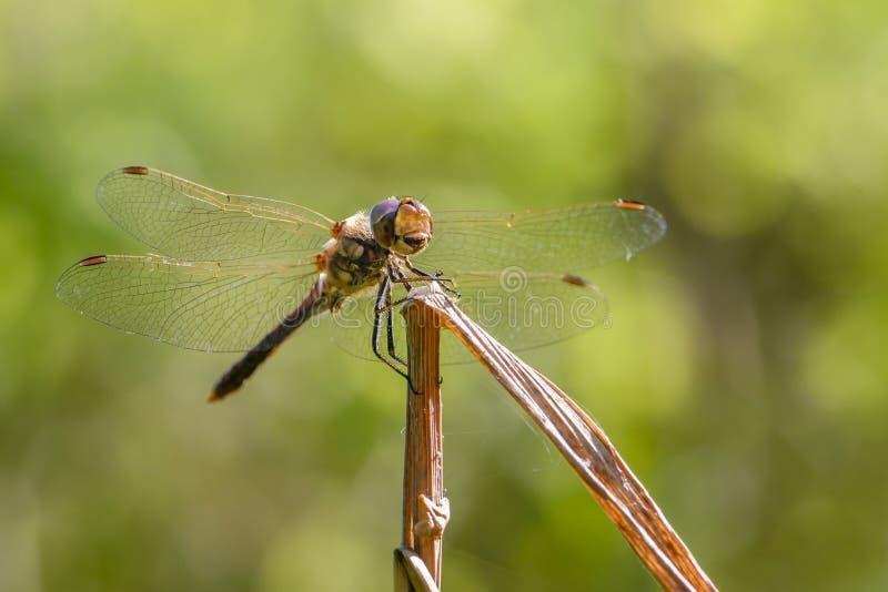 La libélula del flaveolum del sympetrum se sienta en una rama fotos de archivo