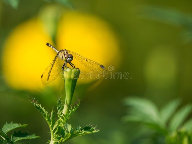 La libélula encaramada en el brote imágenes de archivo libres de regalías