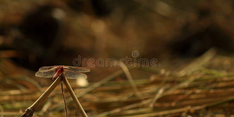 La libélula que se sienta en hierba y alista para volar fotos de archivo