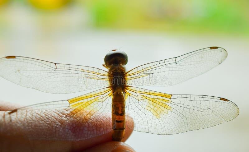 La libellula è morta fotografia stock